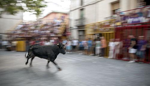 Castalla celebra por primera vez un encierro de toros en sus tradicionales Fiestas de la Vaca