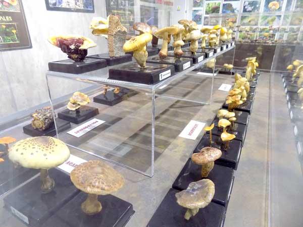 Comencen les XIV Jornades Micològiques al Museu de la Biodiversitat d'Ibi